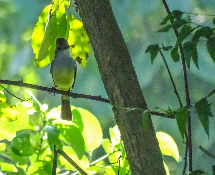 Brown-capped Flycatcher, Honduran Emerald Reserve Trip, Lodge at Pico Bonito