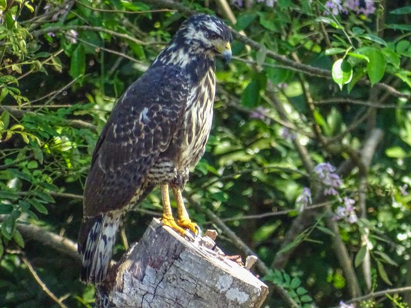Mangrove Common Blackhawk, Cuero y Salado Wildlife Refuge, Honduras