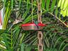 Long-tailed Hermit, Lodge at Pico Bonito, Honduras