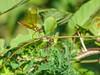 Golden Amberwing, Honduran Emerald Reserve Trip, Lodge at Pico Bonito