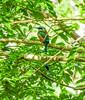 Turquoise-browed Motmot, Rio Santiago, Lodge at Pico Bonito, Honduras
