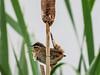 Marsh Wren, Arcata Marsh, Arcata CA