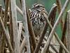 Song Sparrow, Arcata Marsh, Arcata CA