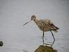 Marbled Godwitt, Arcata Marsh, Arcata CA