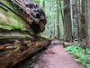 Avenue of the Giants, Humbolt Redwoods State Park, CA