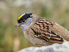 Golden-crowned Sparrow, Arcata Marsh, Arcata CA