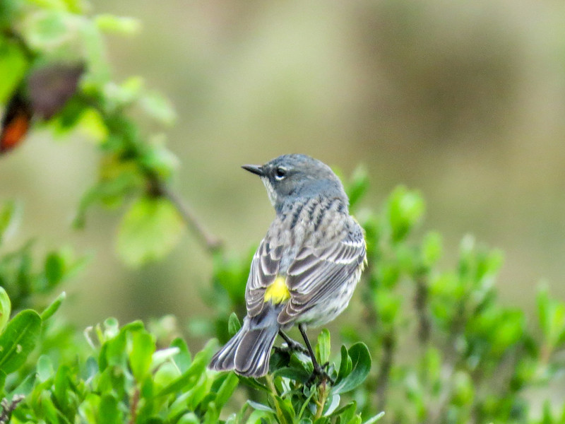 Yellow-rumped Warbler, Arcata Marsh, Arcata CA