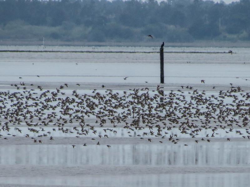 Mixed Shorebirds, Arcata Marsh, Arcata CA