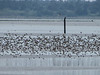 Mixed Shorebirds, Arcata Marsh, Arcata CA
