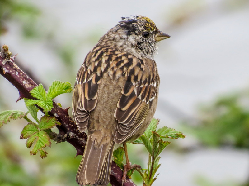 Golden-crowned Sparrow, Arcata Marsh, Arcata CA