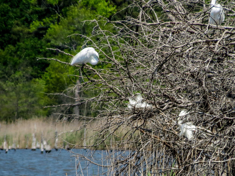 Snowy Egret and BC Nightheron Rookery, Heiserville NJ