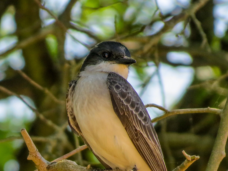 Eastern Kingbird, Heiserville NJ