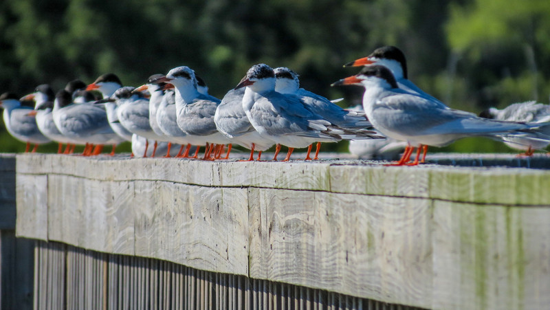 Common Terns, Cape May Lighthouse State Park, Cape May NJ