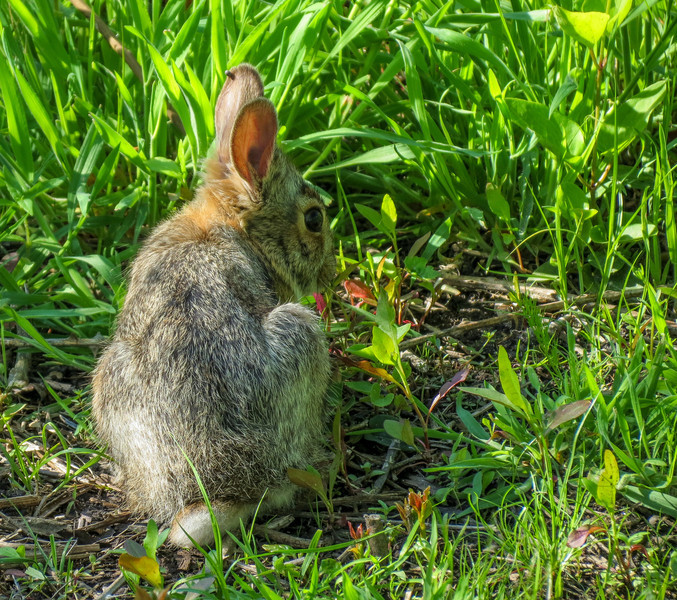 Rabbit, Cape May Lighthouse State Park, Cape May NJ