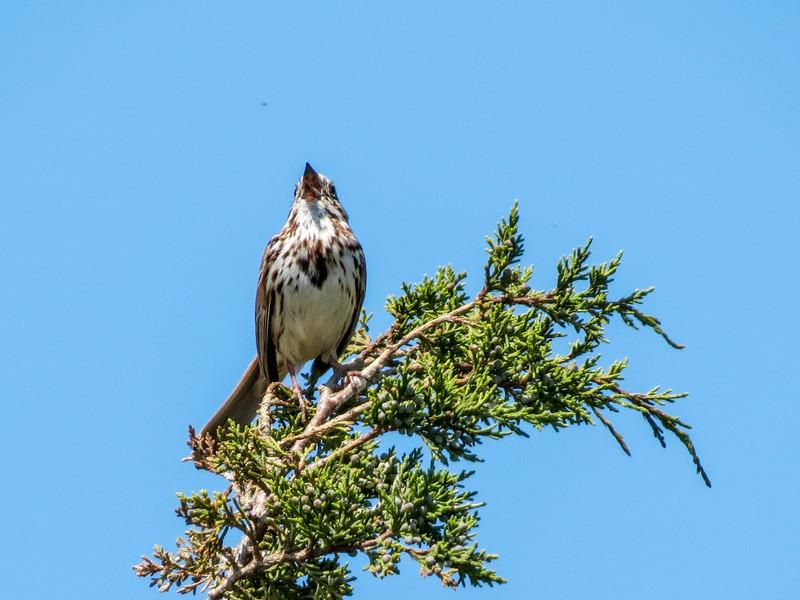 Song Sparrow, Reed's Beach, Cape May NJ