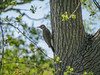 Northern Flicker, Cape May Lighthouse State Park, Cape May NJ