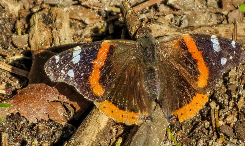 Red Admiral, Cape May Lighthouse State Park, Cape May NJ