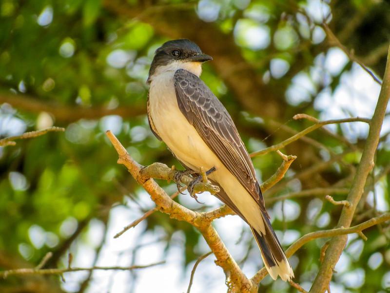 Eastern Kingbird, Heiserville NJ