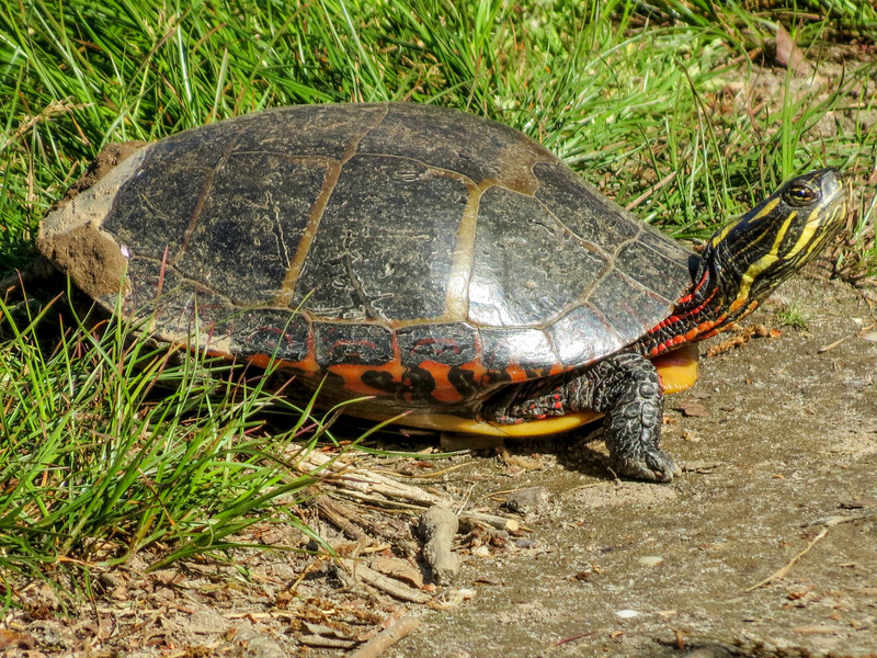 Painted Turtle, Cape May Lighthouse State Park, Cape May NJ
