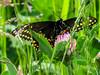 Black Swallowtail, The Beanery, Cape May NJ