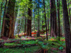 Founders Grove. Humboldt Redwoods State Park, Avenue of the Giants, CA. HDR. Canon SX50HS