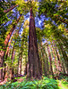 Founders Grove. Humboldt Redwoods State Park, Avenue of the Giants, CA. HDR. 4 Shot Panorama. Canon SX50HS