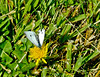 Cabbage White, Meadowbrook Marsh, Marblehead, OH