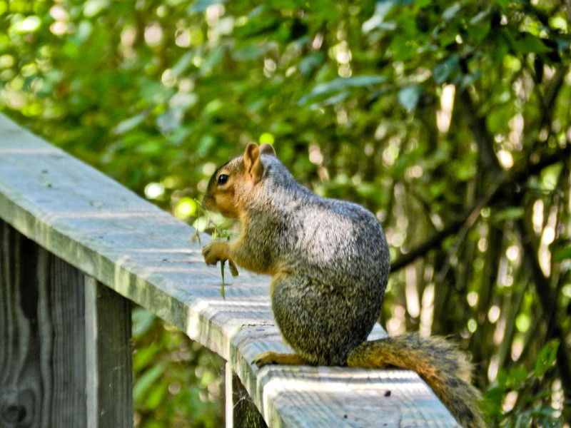 Squirrel, Magee Marsh, OH