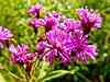 wildflower, Meadowbrook Marsh, Marblehead OH