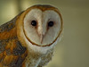 Barn Owl, Midwest Birding Symposium, Lakeside OH, Digiscoped, ZEISS DiaScope 65FL