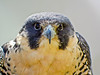 Peregrine Falcon, Midwest Birding Symposium, Lakeside OH, Digiscoped ZEISS DiaScope 65FL