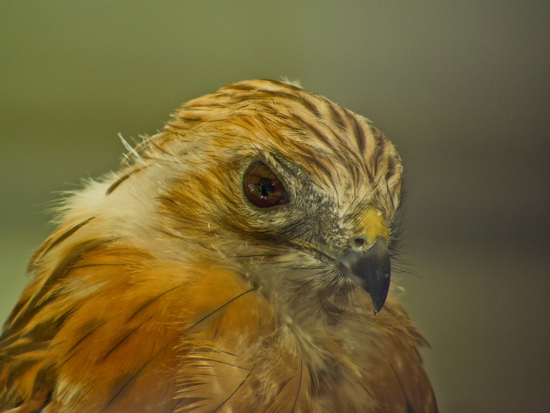 Red Sholdered Hawk, Midwest Birding Symposium, Back to the Wild Rehabiliation, OH