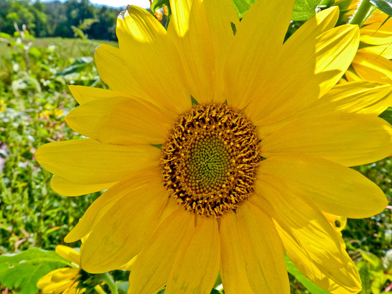 Sunflower, Meadowbrook Marsh, Marblehead, OH