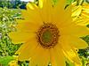 Sunflower, Meadowbrook Marsh, Marblehead, OH