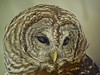 Barred Owl, Midwest Birding Symposium, Back to the Wild Rehabiliation, OH