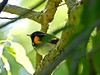 American Redstart, Magee Marsh, OH
