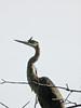 Great Blue Heron, Meadowbrook Marsh, Marblehead OH
