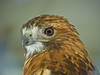 Red Tailed Hawk, Midwest Birding Symposium, Back to the Wild Rehabiliation, OH