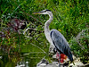 Great Blue Heron, East Harbor State Park, Lakeside OH
