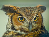 Great Horned Owl, Midwest Birding Symposium, Back to the Wild Rehabiliation, OH
