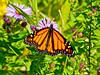Monarch, Meadowbrook Marsh, Marblehead, OH