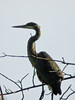 Great Blue Heron, Meadowbrook Marsh, Marblehead OH