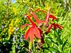 Cardinal Flower, Ottawa NWR, OH