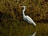 Great Egret, East Harbor SP, Marblehead, OH