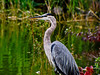 Great Blue Heron, East Harbor State Park, Lakeside OH, Digiscoped ZEISS DiaScope 65FL