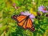 Monarch, Meadowbrook Marsh, Marblehead, OH