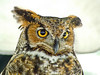 Great Horned Owl, Midwest Birding Symposium, Lakeside OH, Digiscoped ZEISS DiaScope 65FL