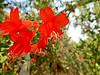 California Fuschia, San Joaquin Wildlife Sanctuary, Irvine CA