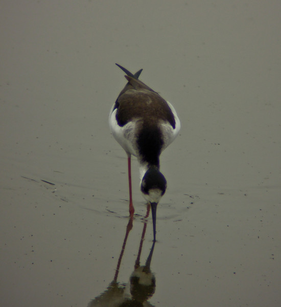 Black-necked Stilt, San Joaquin Wildlife Sanctuary, Irvine CA