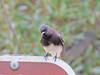 Black Phoebe, William Mason Regional Park, Irvine CA